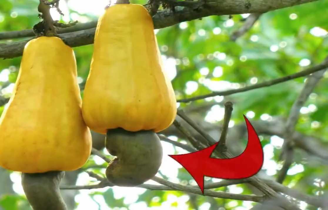 Kaju olarak bildiğimiz çerez aslında kaju meyvesinin sapıdır.