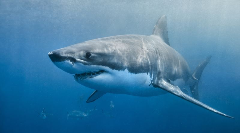 Bir köpek balığı 100 Milyon Damla Deniz suyu içindeki bir damla kanı hissedebilir.