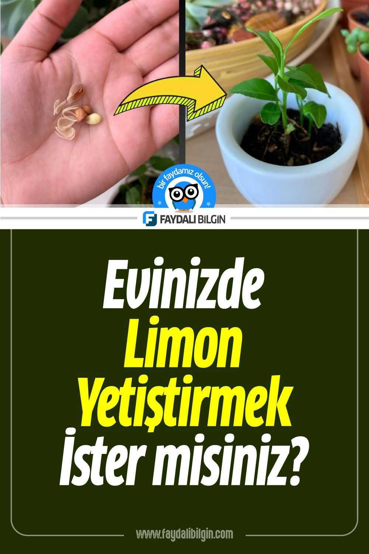 Evinizde Limon Çekirdeğinden Limon Yetiştirme
