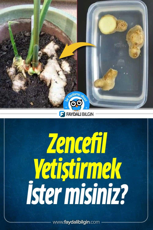 Evinizde Zencefil Yetiştirmek ister misiniz?