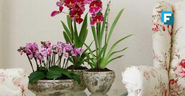 Orkide bakımı nasıl olmalı? Orkide ne sıklıkla sulanmalıdır?